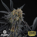 Peach Sherbert OG FEMINIZED Seeds (Perfect Tree Seeds)