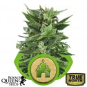 Royal Kush Automatic Feminized Seeds (Royal Queen Seeds)