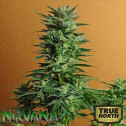Snow White REGULAR Seeds (Nirvana Seeds)
