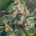 Star Cookies REGULAR Seeds (BC Bud Depot)