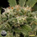 Strawberry Amnesia Feminized Seeds (Dinafem)