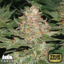 Strawberry Cough Feminized Seeds (Canuk Seeds) - ELITE STRAIN
