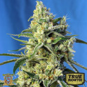 Sweet Amnesia Haze Feminized Seeds (Sweet Seeds)