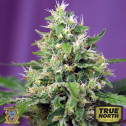 Sweet Amnesia Haze XL Auto Feminized Seeds (Sweet Seeds)