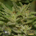 The White Star REGULAR Seeds (Digital Genetics)