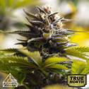 Tropicana Cookies x Gorilla Glue #4 Feminized Seeds (Prism Seeds)