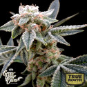 White Alien FEMINIZED Seeds (DNA Genetics - Grow Your Own)