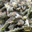 AUTO White Widow FEMINIZED Seeds (Pyramid Seeds)