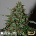 Wild Thailand Ryder Autoflowering Feminized Seeds (World of Seeds)
