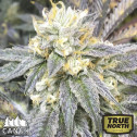 Zkittlez Feminized Seeds (Canuk Seeds) - ELITE STRAIN