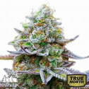 Zkittlez Glue Feminized Seeds (Canuk Seeds) - ELITE STRAIN