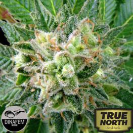 Diesel Feminized Seeds (Dinafem)