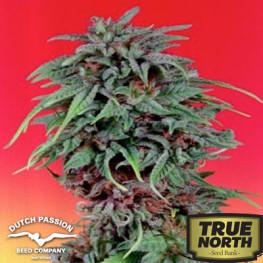 Durban Poison Feminized Seeds (Dutch Passion)