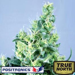 Claustrum Feminized Seeds (Positronics Seeds)