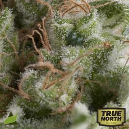 AUTO American Pie FEMINIZED Seeds (Pyramid Seeds)