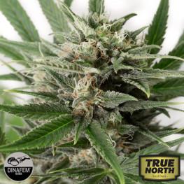 Blue Amnesia XXL Autoflowering Feminized Seeds (Dinafem)