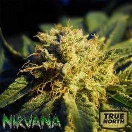 Blue Mystic REGULAR Seeds (Nirvana Seeds)