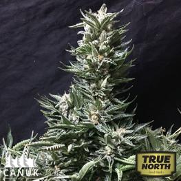 Bruce Banner FAST Feminized Seeds (Canuk Seeds) - ELITE STRAIN