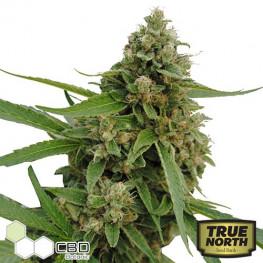 CBD Bubba Kush Feminized Seeds (CBD Botanic)
