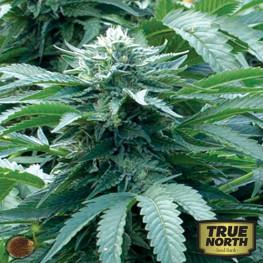 Bubba 76 REGULAR Seeds (Emerald Triangle)
