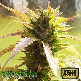 Bubblelicious REGULAR Seeds (Nirvana Seeds)
