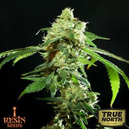 Cannatonic REGULAR Seeds (Resin Seeds)