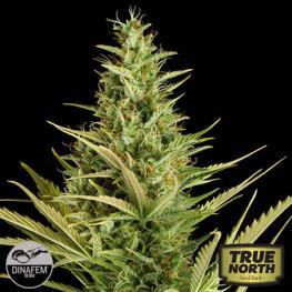 Cheese XXL Autoflowering Feminized Seeds (Dinafem)
