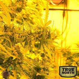 Cheesy Headband REGULAR Seeds (Emerald Triangle)