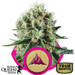 Critical Kush Feminized Seeds (Royal Queen Seeds)