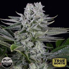 Gorilla CBD Feminized Seeds (Dinafem)