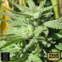 BC Hash Plant FEMINIZED Seeds (BC Bud Depot)