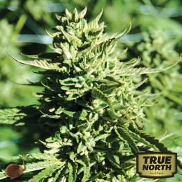Lost Coast OG REGULAR Seeds (Emerald Triangle)