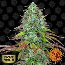LSD Auto Feminized Seeds (Barney's Farm)