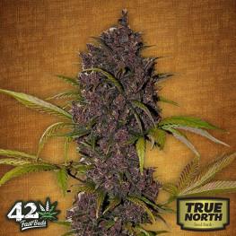LSD - 25 Auto Feminized Seeds (FastBuds)