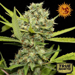 Pineapple Chunk Feminized Seeds (Barney's Farm)