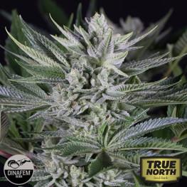 Quick Gorilla Feminized Seeds (Dinafem)