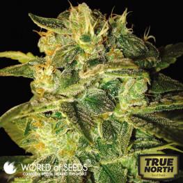 Sugar Mango Ryder Autoflowering Feminized Seeds (World of Seeds)
