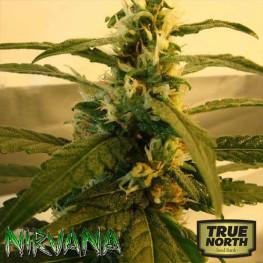 Super Skunk REGULAR Seeds (Nirvana Seeds)