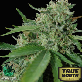 Brazil Amazonia Feminized Seeds (World of Seeds)