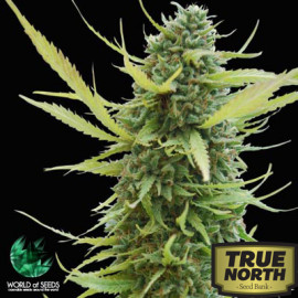 Colombian Gold REGULAR Seeds (World of Seeds)