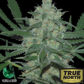 Pakistan Valley REGULAR Seeds (World of Seeds)