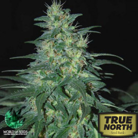 S. Africa Kwazulu REGULAR Seeds (World of Seeds)