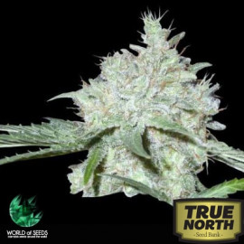 Yumbolt 47 Feminized Seeds (World of Seeds)