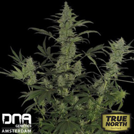 60 Day Lemon AUTO FEM Seeds (DNA Genetics)