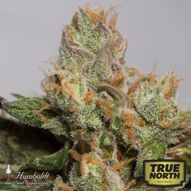 707 Truthband Feminized Seeds (Humboldt Seed Org)
