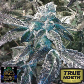 Girl Scout Cookies FEMINIZED Seeds (BC Bud Depot)