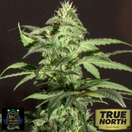Jack Herer REGULAR Seeds (BC Bud Depot)