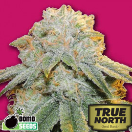 Bubble Bomb FEMINIZED Seeds (Bomb Seeds)