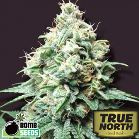 Kush Bomb REGULAR Seeds (Bomb Seeds)
