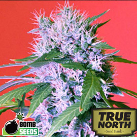 Berry Bomb FEMINIZED Seeds (Bomb Seeds)